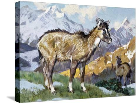 Himalayan Goral (Naemorhedus Goral), Bovidae--Stretched Canvas Print