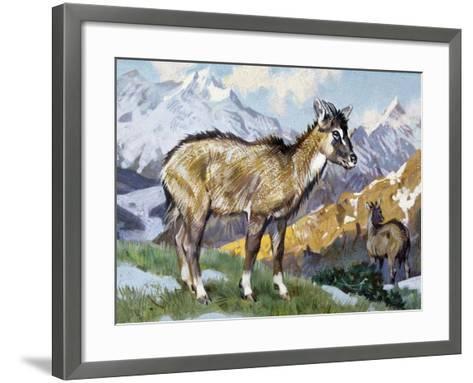 Himalayan Goral (Naemorhedus Goral), Bovidae--Framed Art Print