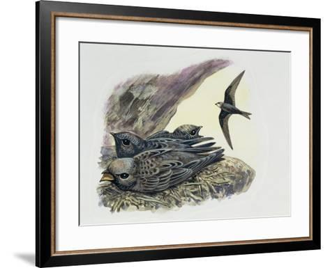 Common Swift Flying with Three Young Ones in a Nest (Apus Apus)--Framed Art Print
