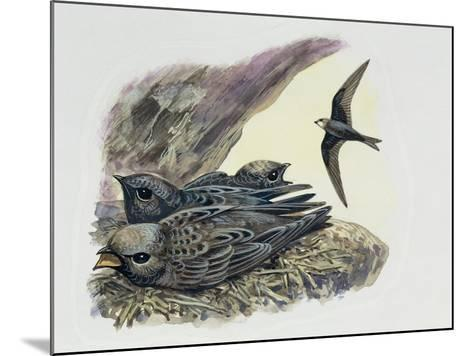 Common Swift Flying with Three Young Ones in a Nest (Apus Apus)--Mounted Giclee Print