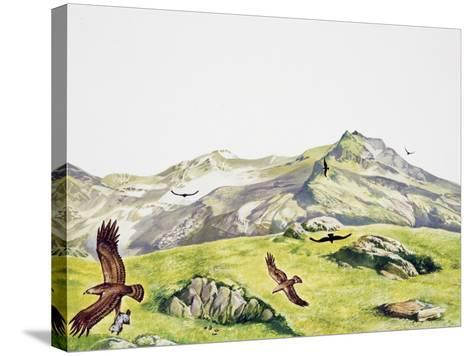 Golden Eagle (Aquila Chrysaetos), Accipitridae--Stretched Canvas Print