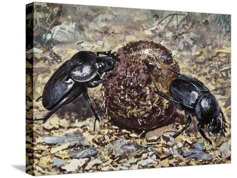 Sacred Beetle (Scarabaeus Sacer), Scarabaeidae--Stretched Canvas Print