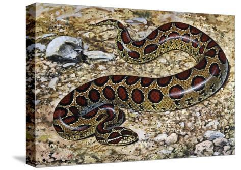 Russel's Viper (Daboia Russelii), Viperidae, Drawing--Stretched Canvas Print