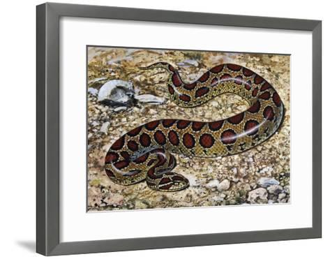 Russel's Viper (Daboia Russelii), Viperidae, Drawing--Framed Art Print