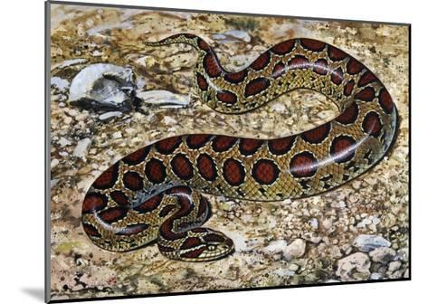 Russel's Viper (Daboia Russelii), Viperidae, Drawing--Mounted Giclee Print