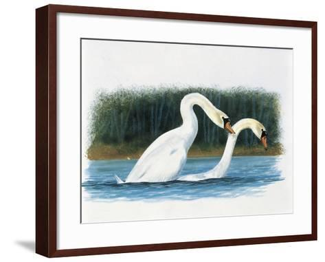 Close-Up of Two Mute Swans Mating--Framed Art Print