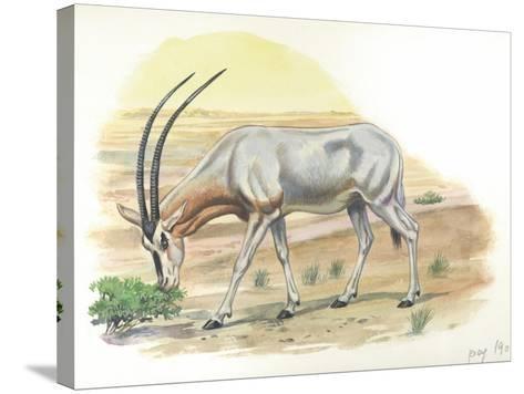 Gemsbok Oryx Gazella--Stretched Canvas Print