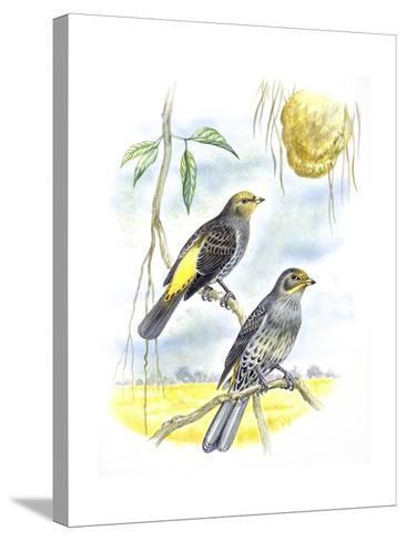 Birds: Piciformes, Couple of Honeyguide--Stretched Canvas Print