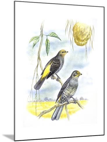Birds: Piciformes, Couple of Honeyguide--Mounted Giclee Print