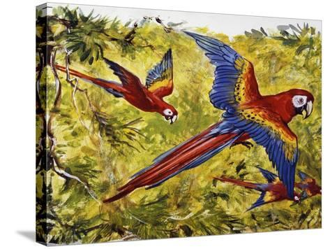 Scarlet Macaw (Ara Macao), Psittacidae--Stretched Canvas Print