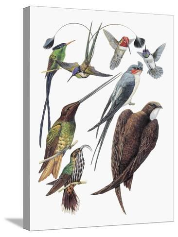 Close-Up of Hummingbirds and Swifts--Stretched Canvas Print