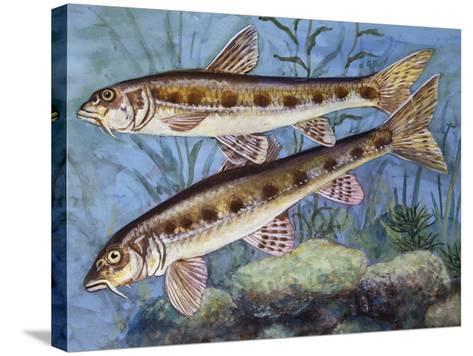 Gudgeon (Gobio Gobio), Cyprinidae, Drawing--Stretched Canvas Print