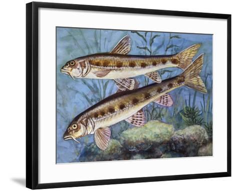 Gudgeon (Gobio Gobio), Cyprinidae, Drawing--Framed Art Print