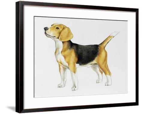 Beagle (Canis Lupus), Canidae, Drawing--Framed Art Print