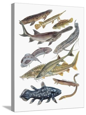 Close-Up of Acipenseriformes Family--Stretched Canvas Print