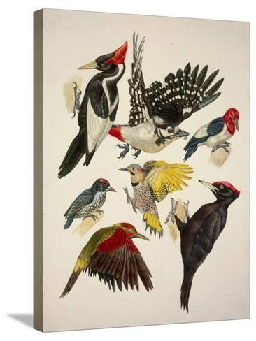 Birds, Variety of Piciformes--Stretched Canvas Print