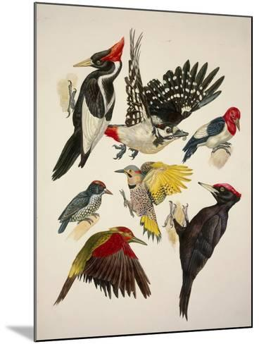 Birds, Variety of Piciformes--Mounted Giclee Print