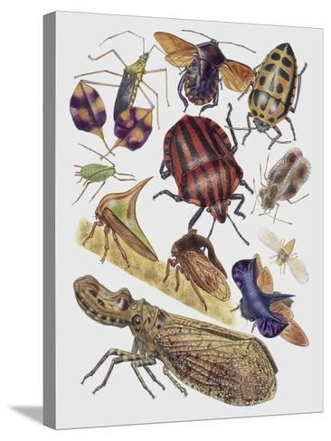 Close-Up of a Group of Hemiptera Insects--Stretched Canvas Print