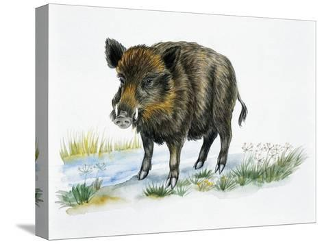 Wild Boar (Sus Scrofa), Suidae, Drawing--Stretched Canvas Print