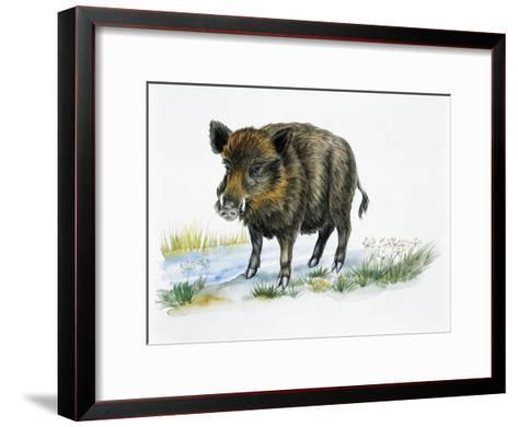 Wild Boar (Sus Scrofa), Suidae, Drawing--Framed Art Print