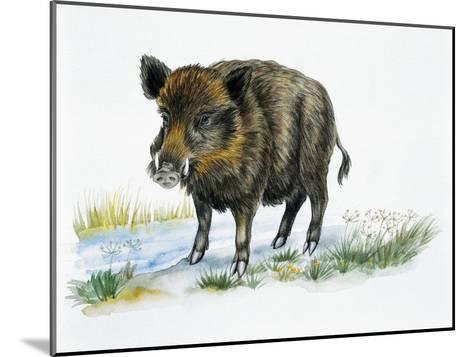 Wild Boar (Sus Scrofa), Suidae, Drawing--Mounted Giclee Print