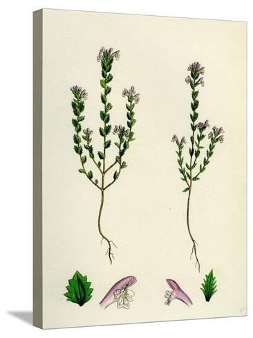 Euphrasia Officinalis Var. Gracilis Common Eyebright Var. B--Stretched Canvas Print