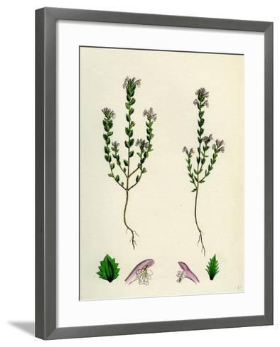 Euphrasia Officinalis Var. Gracilis Common Eyebright Var. B--Framed Art Print