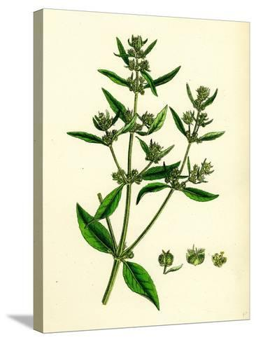 Mercurialis Annua Var. Ambigua Annual Dog's-Mercury Var. B--Stretched Canvas Print