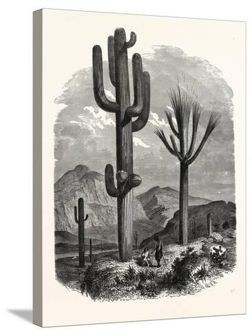 The Cereus Giganteus, or Monumental Cactus--Stretched Canvas Print