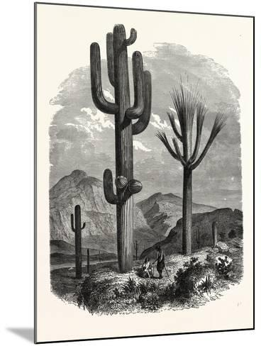 The Cereus Giganteus, or Monumental Cactus--Mounted Giclee Print