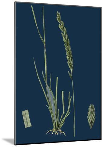 Saxifraga Tridactylites; Rue-Leaved Saxifrage--Mounted Giclee Print