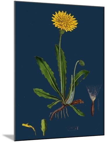 Chenopodium Ficifolium; Fig-Leaved Goosefoot--Mounted Giclee Print