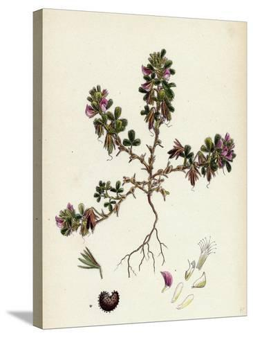 Ononis Reclinata Small Spreading Rest-Harrow--Stretched Canvas Print