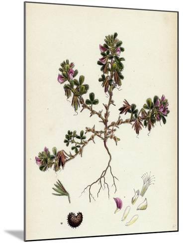 Ononis Reclinata Small Spreading Rest-Harrow--Mounted Giclee Print