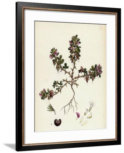 Ononis Reclinata Small Spreading Rest-Harrow--Framed Art Print