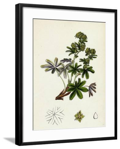 Alchemilla Conjuncta Silvery Lady'S-Mantle--Framed Art Print