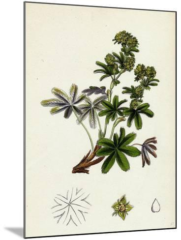 Alchemilla Conjuncta Silvery Lady'S-Mantle--Mounted Giclee Print