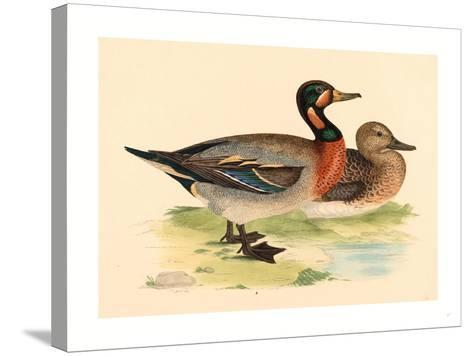 British 19th Century, Bimaculated Duck, 1855--Stretched Canvas Print