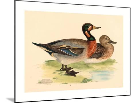 British 19th Century, Bimaculated Duck, 1855--Mounted Giclee Print
