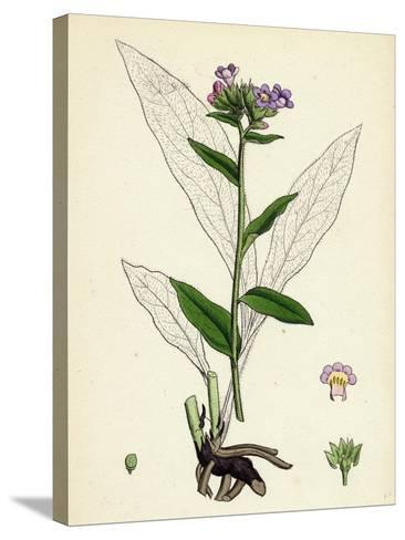 Pulmonaria Angustifolia Narrow-Leaved Lungwort--Stretched Canvas Print