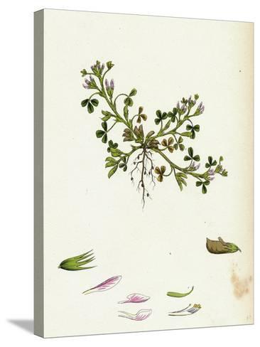 Trigonella Ornithopodioides Bird'S-Foot Fenugreek--Stretched Canvas Print