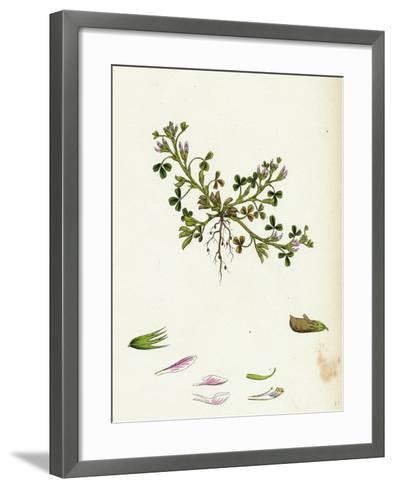 Trigonella Ornithopodioides Bird'S-Foot Fenugreek--Framed Art Print