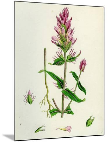 Melampyrum Arvense Field Cow-Wheat--Mounted Giclee Print