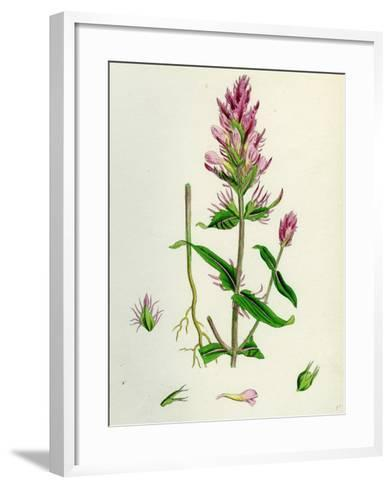 Melampyrum Arvense Field Cow-Wheat--Framed Art Print