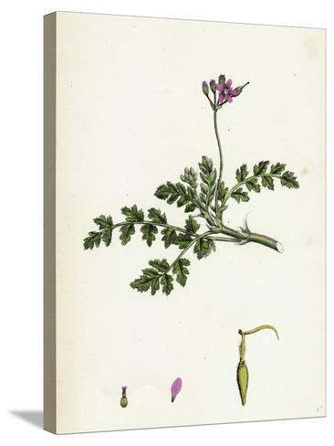 Erodium Cicutarium Common Stork'S-Bill--Stretched Canvas Print