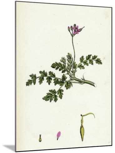 Erodium Cicutarium Common Stork'S-Bill--Mounted Giclee Print