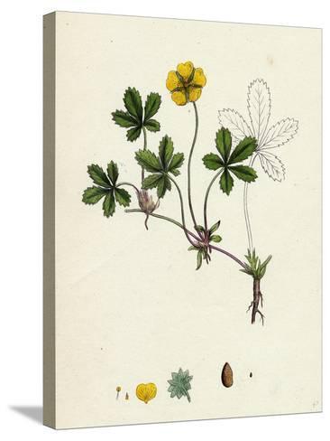 Potentilla Reptans Creeping Cinquefoil--Stretched Canvas Print