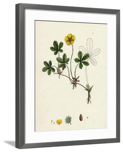 Potentilla Reptans Creeping Cinquefoil--Framed Art Print