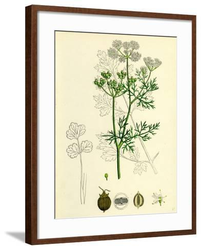 Coriandrum Sativum Common Coriander--Framed Art Print