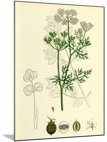 Coriandrum Sativum Common Coriander--Mounted Giclee Print